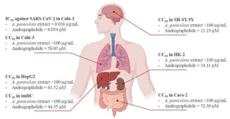 รูปที่ 2 แสดงค่า IC50 ในการต้านโคโรนาไวรัส รวมถึงค่าความเป็นพิษ (CC50) ของฟ้าทะลายโจร และ Andrographolide