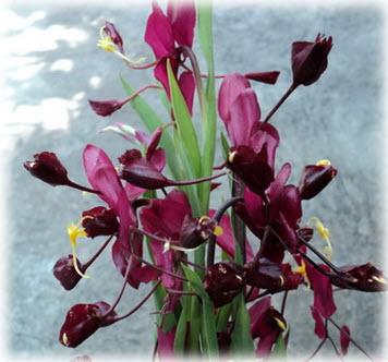 ช่อดอกของว่านหงส์เหิร กลีบเลี้ยงดอกสีแดงม่วงเข้มมาก