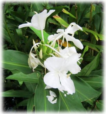 นางพญาหงษ์ทองดอกขาว