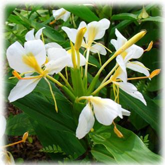 นางพญาหงส์ทองดอกเหลือง ซึ่งมีระบุใน ตำรากบิลว่าน และต้นยาวิเศษนานาชนิด โดย พยอม วิไลรัตน์