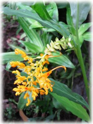 ว่านหงส์ทอง หรือดอกเข้าพรรษาพันธ์ดอกสีเหลืองเป็นช่อ ดังรูป