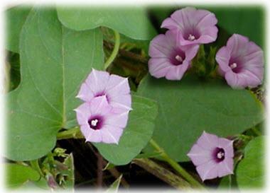 หญ้าดอกขน(สาย อ.หล่อเรียก ว่านพระยาผักบุ้ง) ผู้เขียนตั้งข้อสังเกตว่า ตรงกับว่านกระจายหางดอกมากที่สุด