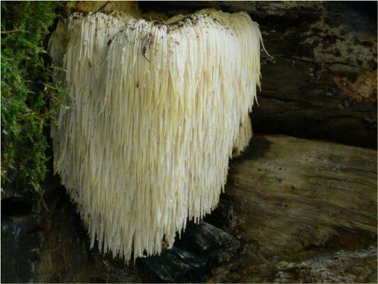 เห็ดหัวลิง (Hericium erinaceus)