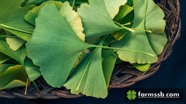 แปะก๊วยมีถิ่นกำเนิดอยู่แถบตะวันออกเฉียงใต้ของประเทศจีน เชื่อกันว่าเป็นพืชที่เก่าแก่ที่สุดในโลกชนิดหนึ่ง ที่หลงเหลืออยู่ในประเทศจีน ซึ่งเป็นพืชที่หายากและใกล้จะสูญพันธุ์