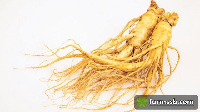 """โสมเกาหลี หรือโสมคน (Korean ginseng) เนื่องจากรูปร่างของราก ที่มีลักษณะคล้ายคน มีชื่อทางพฤกษศาสตร์ว่า Panax ginseng C.A.Meyer จัดอยู่ในวงศ์ Araliaceae คำว่า """"panax"""" มาจาก """"panacea"""" แปลว่า """"รักษาได้สารพัดโรค"""""""
