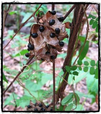 Abrus sp. มะกล่ำดำ หรือ ว่านพระดำ