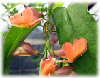 รางจืดดอกแดง Thunbergia coccinea Wall.